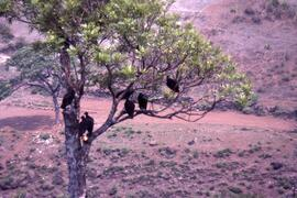 Vultures-a common sight in rural Honduras, Honduras ca. 1985