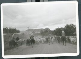 Cattle drive in Nicaragua