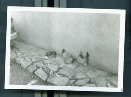 Three chickens by a wall. Honduras, ca. 1985
